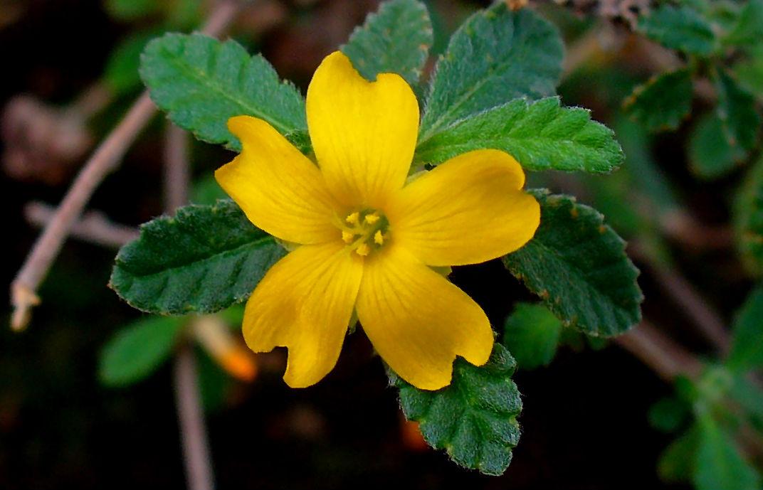 flor damiana