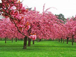 propiedades medicinales cerezo